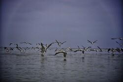 پایان مرگ و میر پرندگان مهاجر در میانکاله