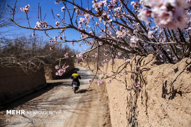 الأشجار تزهر قبل قدوم الربيع في محافظة يزد