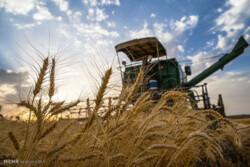 ۱۳۰ شبکه وضعیت سن غلات در مزارع کشاورزی قزوین را رصد میکنند
