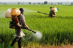 ملخ صحرایی به مزارع و باغهای استان بوشهر خسارتی وارد نکرده است