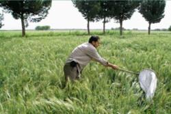 افزایش ۶ درصدی کشت گندم در مزارع کشاورزی استان قزوین