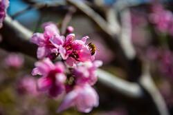 İran'da baharı müjdeleyen ilkbahar çiçekleri