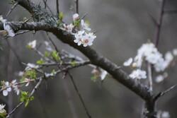 احتمال سرمازدگی باغات در چهارمحال و بختیاری وجود دارد
