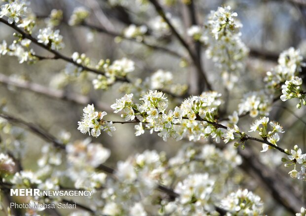 فرش رنگین بهار در  طبیعت گلستان