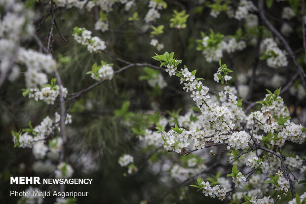 Early spring blossoms in Tehran