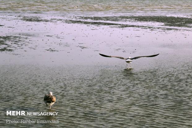 مرغان ماهی خوار سواحل بندرعباس