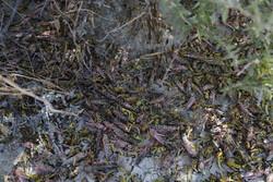 سیریک ضلع میں صحرائی ٹڈیوں کا مقابلہ