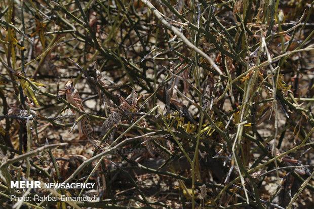 مكافحة الجراد الصحراوي في منطقة سیریک