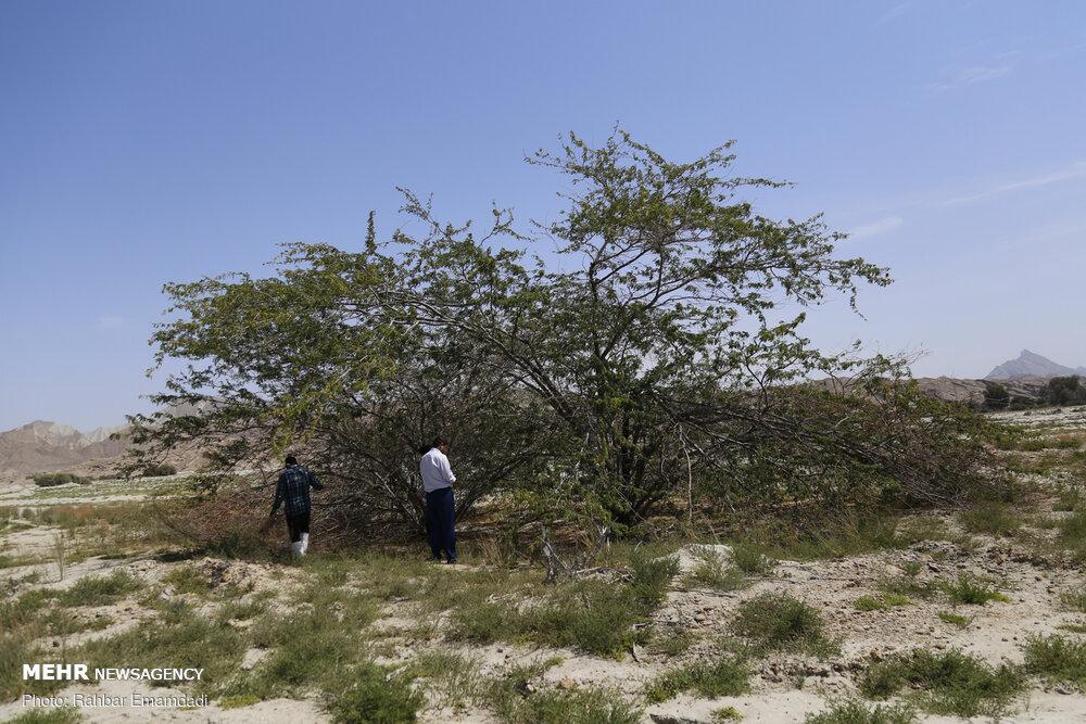 مبارزه با ملخ های صحرایی در شهرستان سیریک