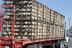 ۳۲ هزار قطعه جوجه فاقد مجوز در آستارا کشف و ضبط شد