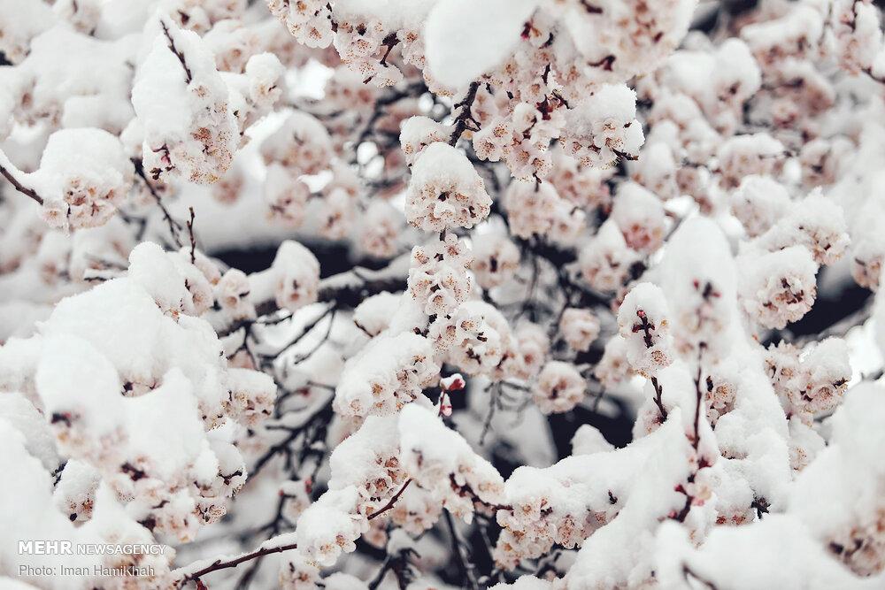 بهار برفی همدان