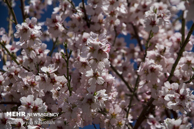 Spring blossoms in Iran's Kordestan