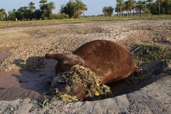 خسارات سیل به زمینهای کشاورزی در جنوب کرمان