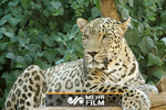 VIDEO: Persian leopard captured on camera in N Iran