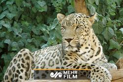 ایرانی چیتے کی خوبصورت تصویر