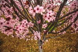 شکوفه های بهاری بجنورد