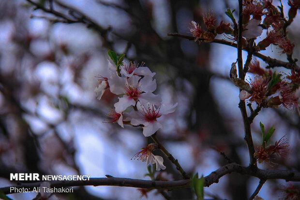 Qazvin in blossom