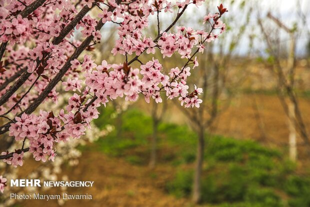 Spring blossoms out in Bojnurd