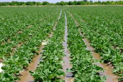 ۳۴ هزار هکتار از مزارع آذربایجان غربی زیر کشت چغندر قند می رود