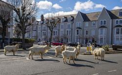 Koronavirüs yasağıyla boş kalan sokakları dağ keçileri bastı!