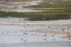 آغاز تخمگذاری پرندگان مهاجر آبزی و کنار آبزی در تالاب یعقوب آباد