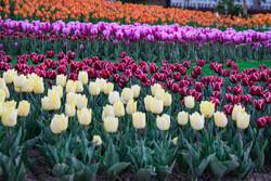 Kerec'in büyüleyici renklerle bürünen Lale Bahçesi'ne yolculuk