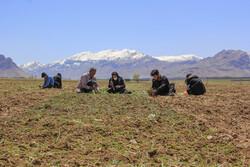 چہار محال بختیاری میں پیاز کی کاشت
