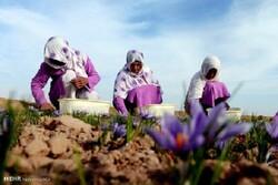 ۶۷ تن زعفران طی سال ۹۸ در خراسانجنوبی تولید شد