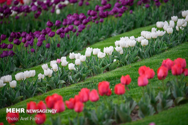 Tulip flower garden in Karaj void of visitors