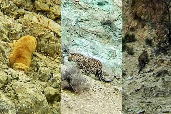 Three Persian leopards, one Pallas cat spotted near Tehran