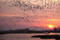 آغاز بازگشت ۱۳۵ هزار قطعه پرنده مهاجر از تالاب های گیلان
