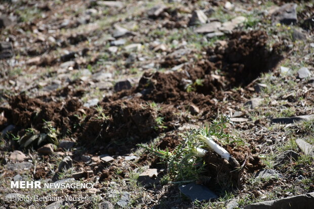 Common thistle harvest in Iran