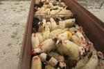 توقیف ۳۰۰ رأس گوسفند در مناطق مرزی گلستان
