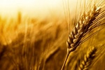 ۱۶۰ هزار تن گندم از کشاورزان دهلرانی خریدای شد