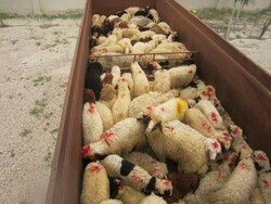 کشف گوسفند قاچاق توسط مرزبانان دشت آزادگان خوزستان