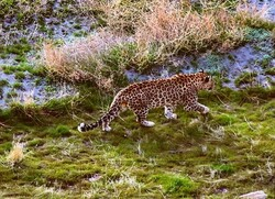 Persian leopard spotted in Lake Urmia island