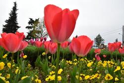 آستارا میزبان گل های لاله