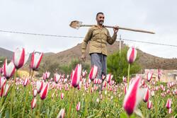Yezd'in Şurbulayn köyünü güzelleştiren laleler