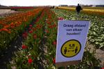 نابودی ۱۴۰ میلیون گل لاله در هلند با شیوع کرونا