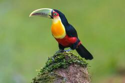 پرنده های زیبای جنگلهای برزیل