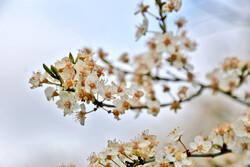 دامن پرگل بهار در اردبیل