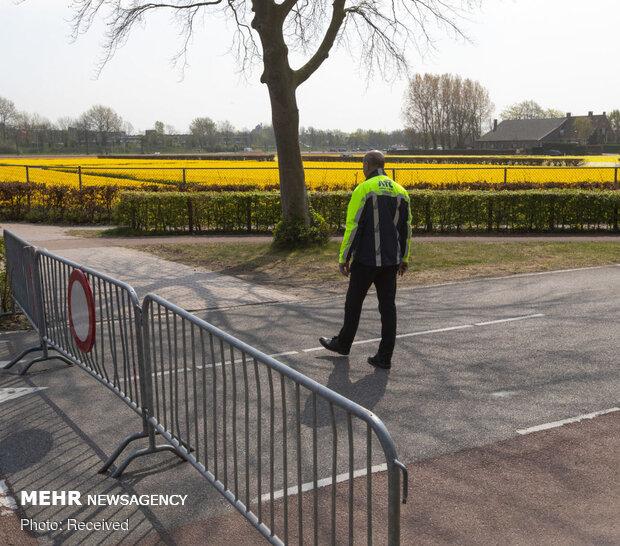 نابودی گل های لاله در هلند