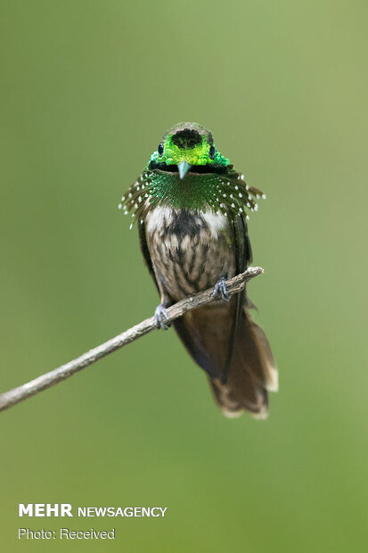پرنده های زیبای جنگلهای آتلانتیک برزیل