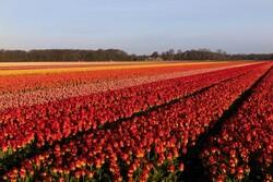 کرونا صنعت گل هلند را نابود کرد