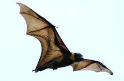 Bats have adapted to live with some deadly pathogens.