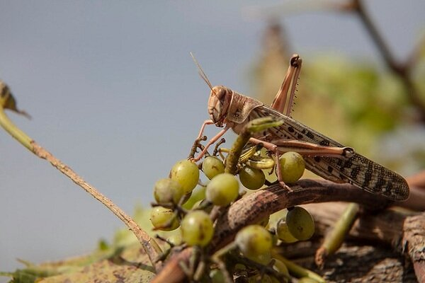 FAO scales up tech assistance to Iran on desert locust infestation
