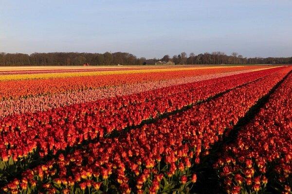 صنعت گل هلند