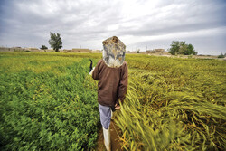 Sistan-Baluchestan under wheat, barley cultivation