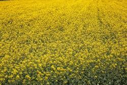 خراسان شمالی کے کھیتوں ميں سرسوں کے شاندار جلوے