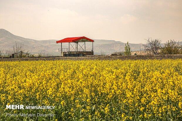 دشت کلزا، نمونهای از نقاشی زیبای طبیعت در خراسان شمالی